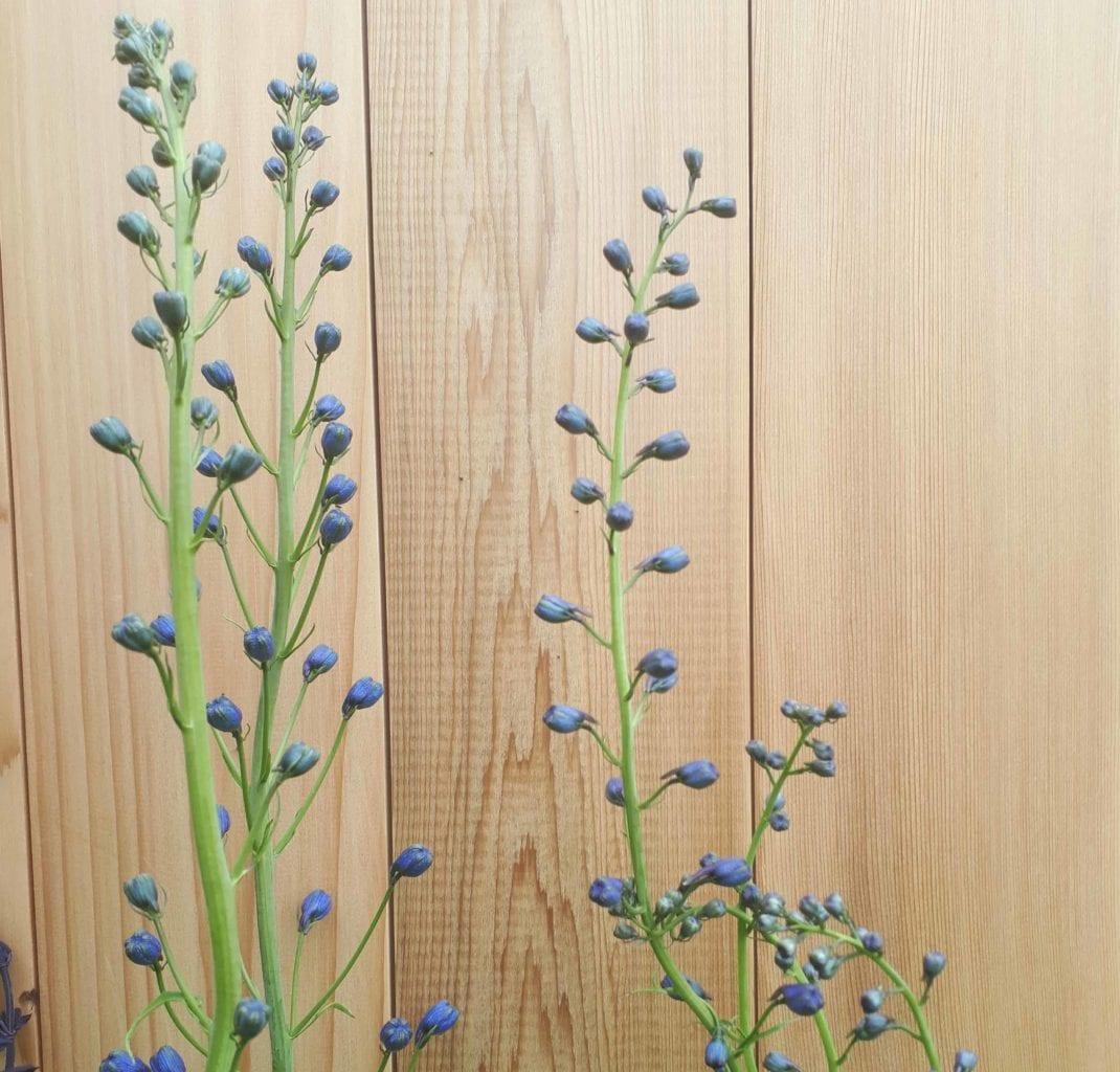 Delphinium elatum 'Blue Nile'