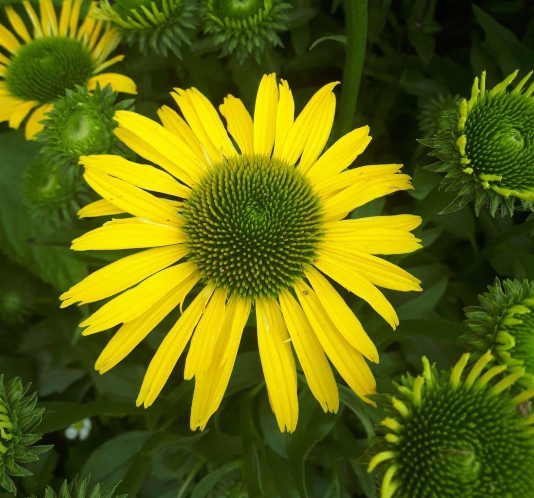 Echinacea 'Sunseekers in Tanz Yellow'