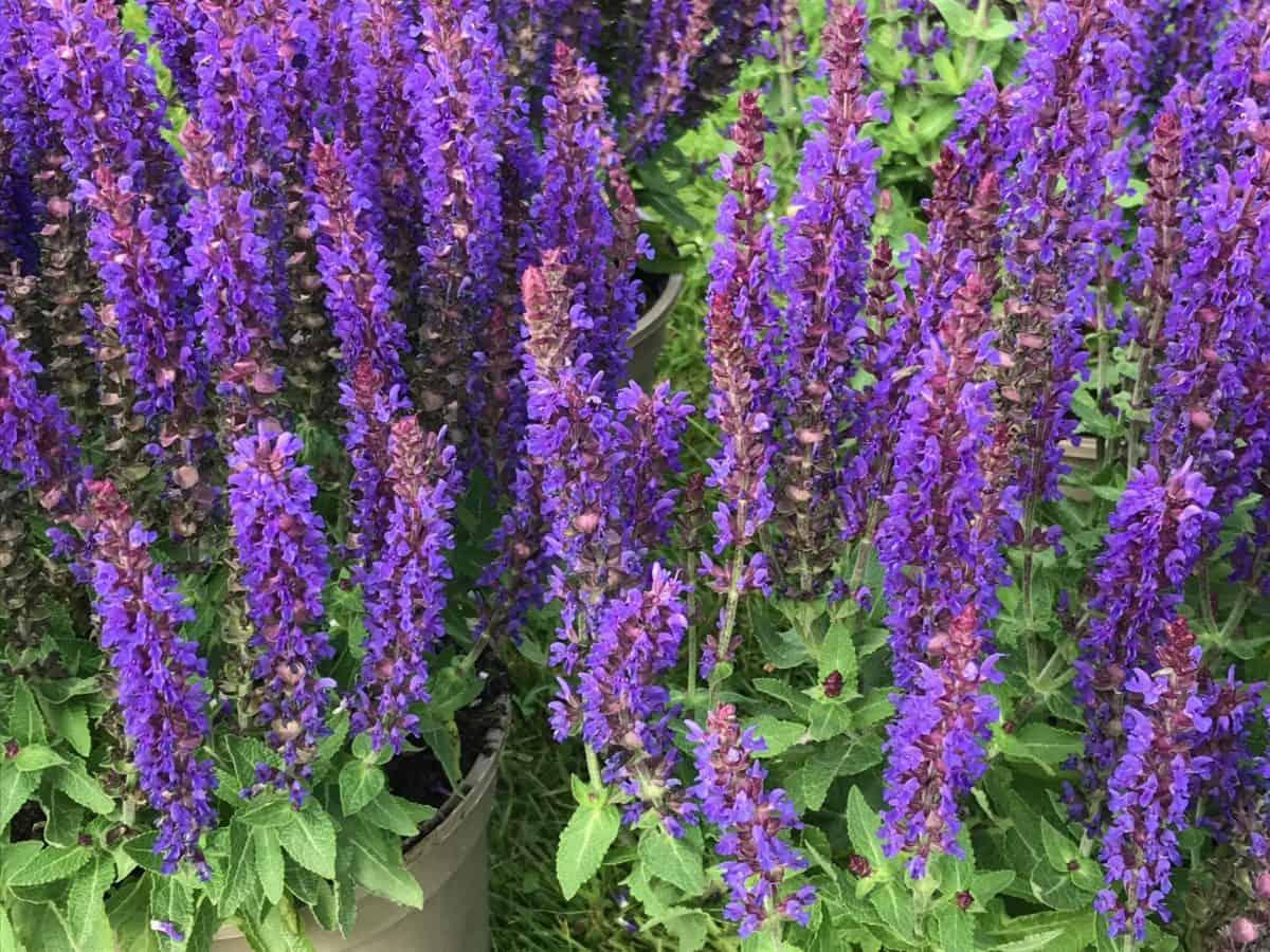 Salvia nemorosa 'Blue Bouquetta'
